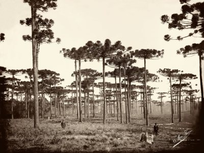 Marc Ferrez Brazilian, 1843–1923 Araucárias, Paraná, ca. 1884 (printed later) Gelatin silver print, 29 x 39 cm Gilberto Ferrez Collection, Instituto Moreira Salles Archive, Brazil