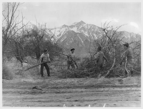 Clem Albers. Manzanar, California. 4/2/42. Evacuees clearing brush to enlarge this War Relocation Authority center which will house 10,000 evacuees of Japanese ancestry for the duration.