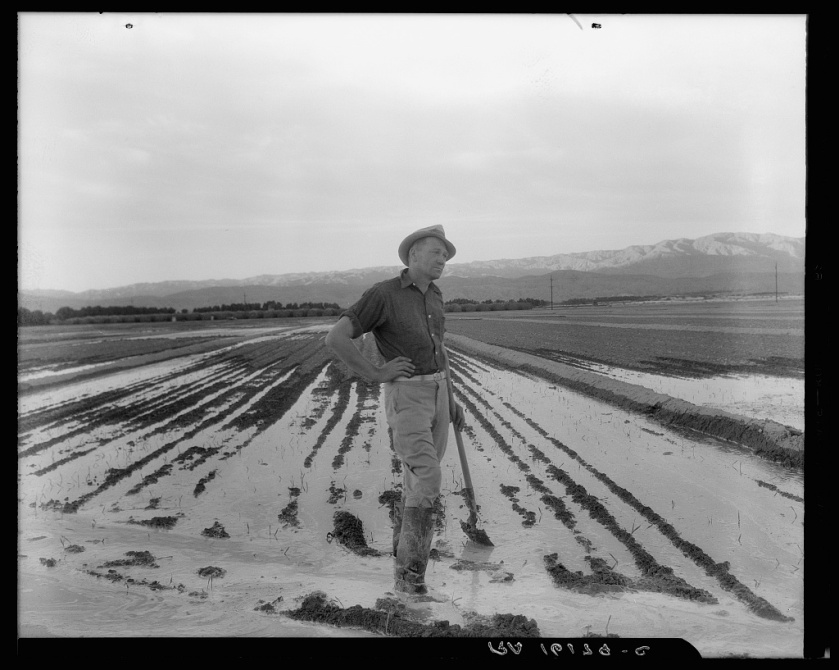 Dorothea Lange. Field Worker Irrigating Alfalfa and Barley Fields, 1937.