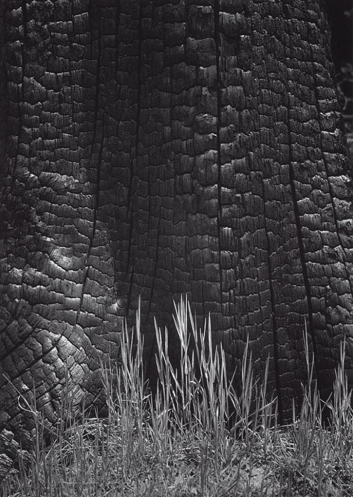 Ansel Adams. Burnt Stump and New Grass, Sierra Nevada.