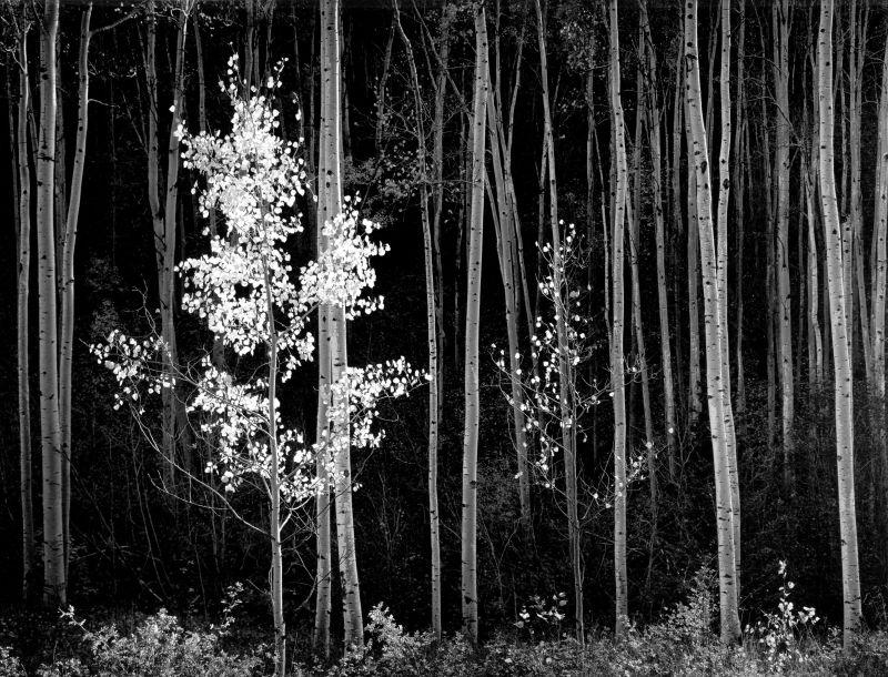 Ansel Adams. Aspens, New Mexico.